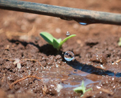 Drip irrigation, developed in 1959, results in the need for far less water. (Courtesy of Netafim.)