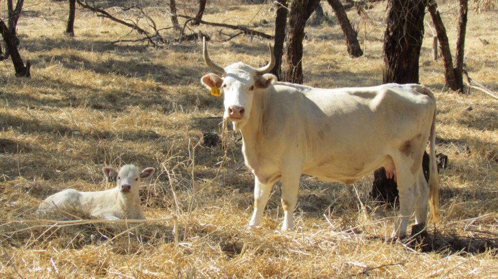 A cow and a calf from the Middle East, in a field of dried grass, looking at the camera.