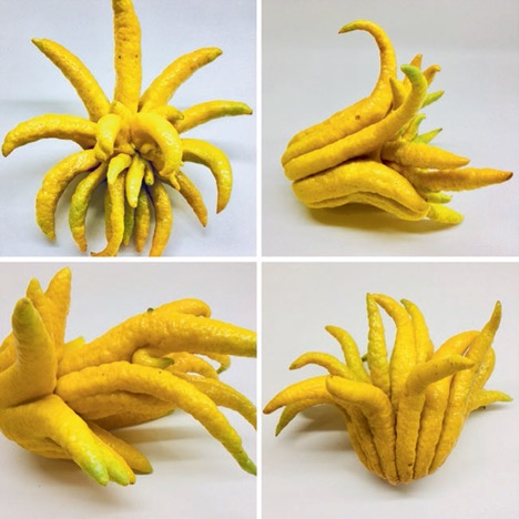 Four pictures of a long-fingered yellow citrus fruit.