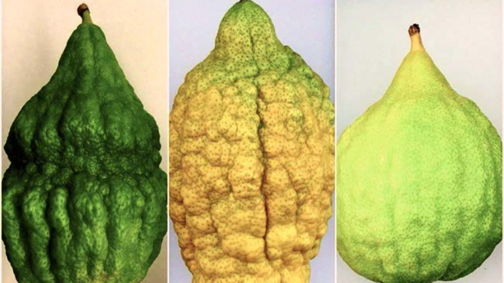 The Peculiar History of the Etrog